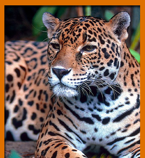 Curiosidades del Jaguar